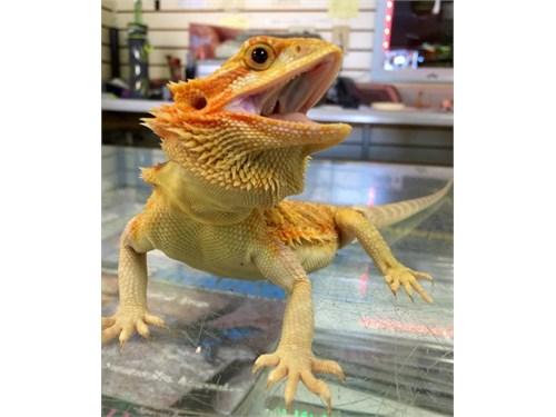 hypo bearded dragons ,