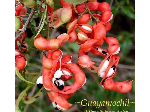 Guamuchil Tree with fruit