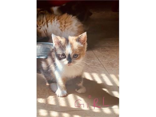 3/4 Persian Kittens