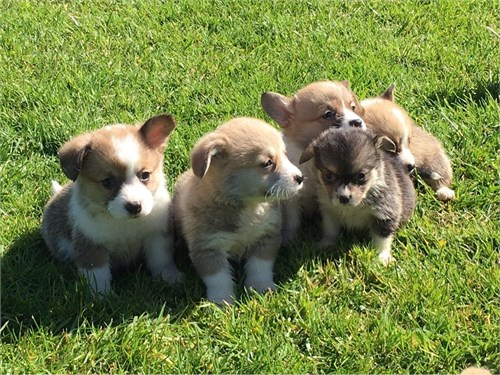 Beautiful Corgi Puppies