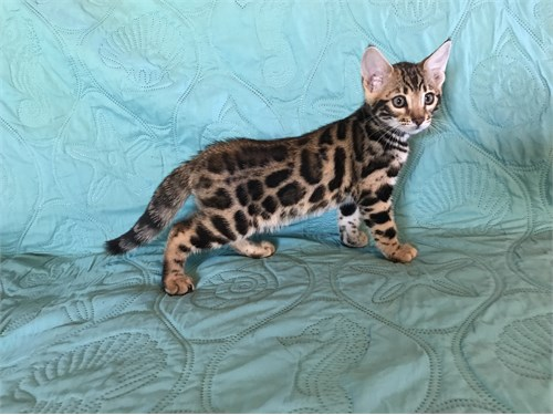 Exotic Bengal Kitten