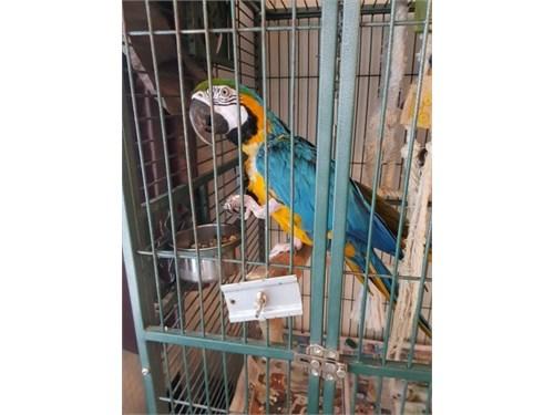 Beautiful Baby Macaw