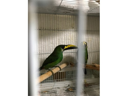 Emerald toucanets