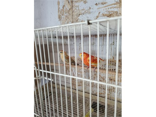 Red Rump Parakeets