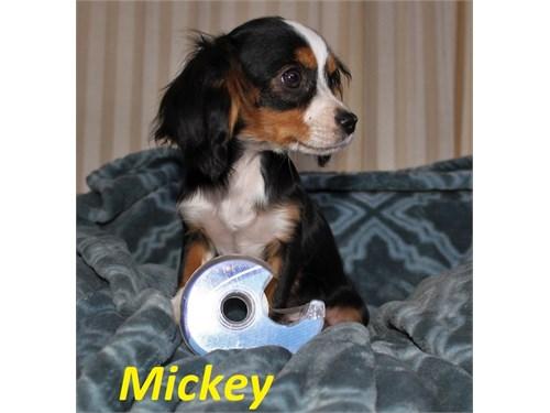 Cavalier mix puppies (S)