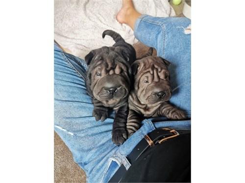 Reg Sharpei Puppies