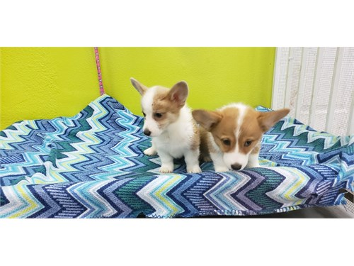 Welshi Corgi Puppies