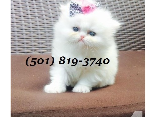 Cuties Persians Available