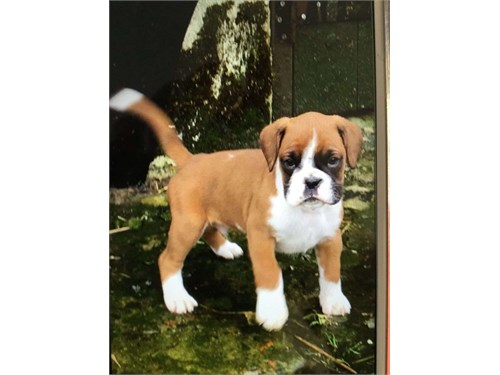 VICKY Boxer Puppies