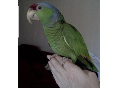 Parrot loro parrots
