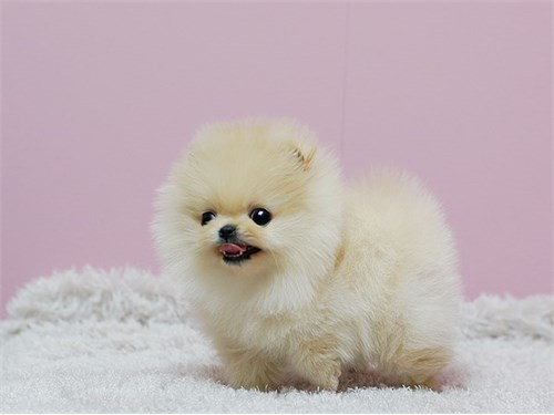 Pomeranian Tiny Puppies