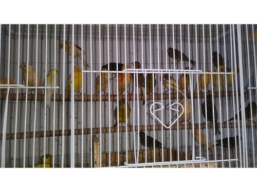 Many canaries