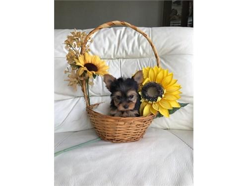 Stunning Yorkie Puppies