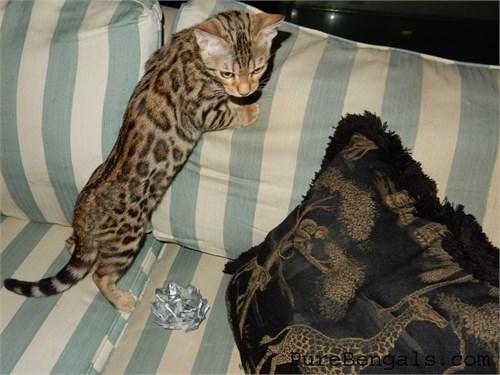 Bengal Kittens - TICA Reg