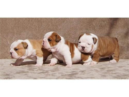 Cute English Bulldogs