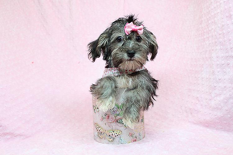 Karma-Toy Morkie Puppy   Pets   Agoura Hills CA   recycler com