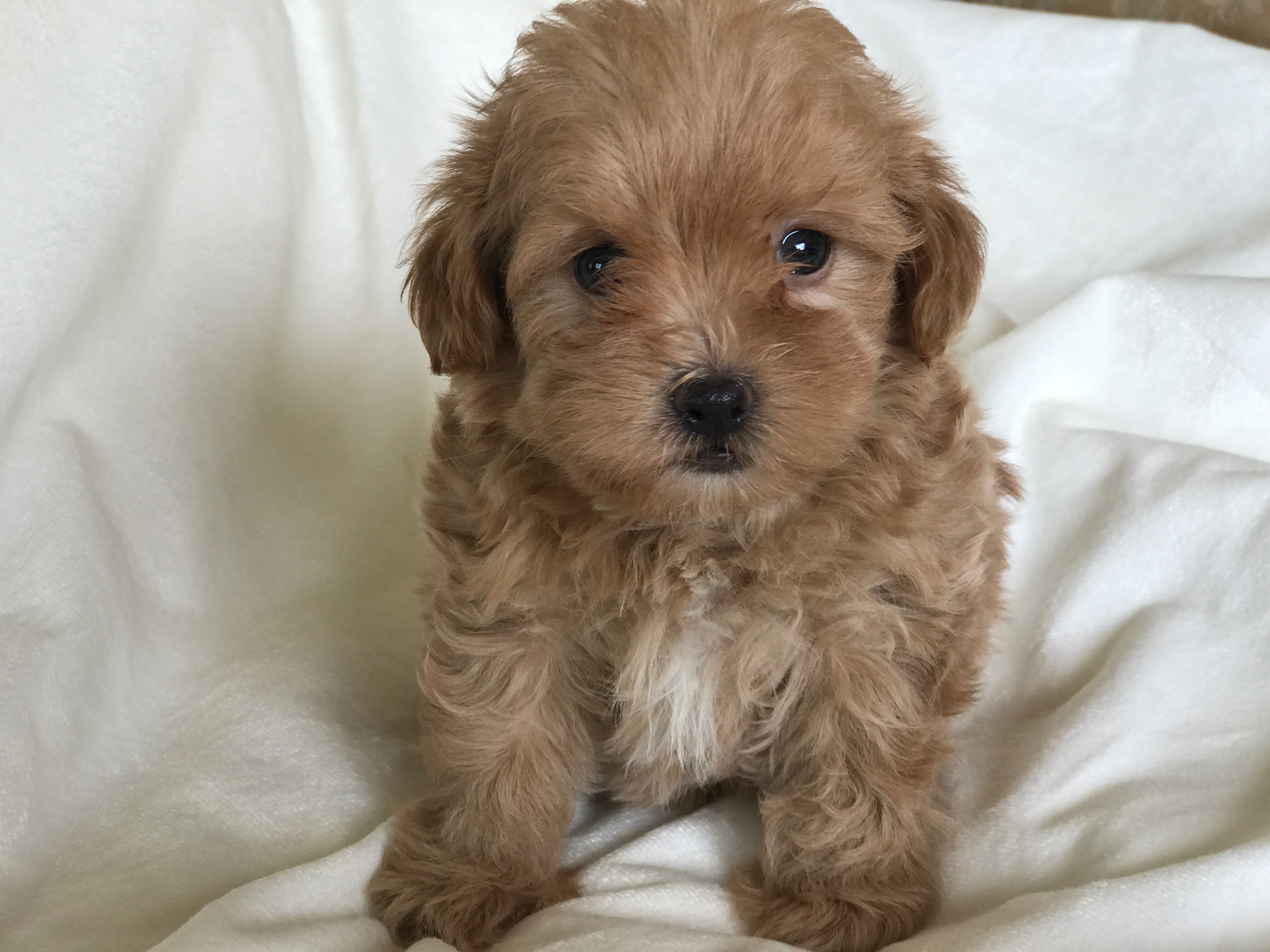 RED MALTIPOO PUPPIES  FULL GROWN SIZE 8-9lbs  CURLY FLUFFY HAIR ROUND TEDDYBEAR FACEHOME RAISE