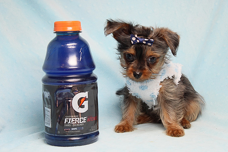 Rare Blue Merle Yorkie Puppy