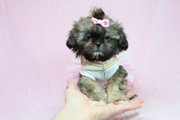Teacup and Toy Size Puppies | Pets | Agoura Hills CA