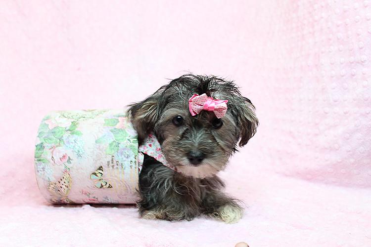 Karma-Toy Morkie Puppy