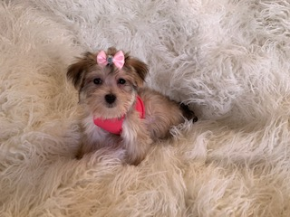 Teacup morkie female