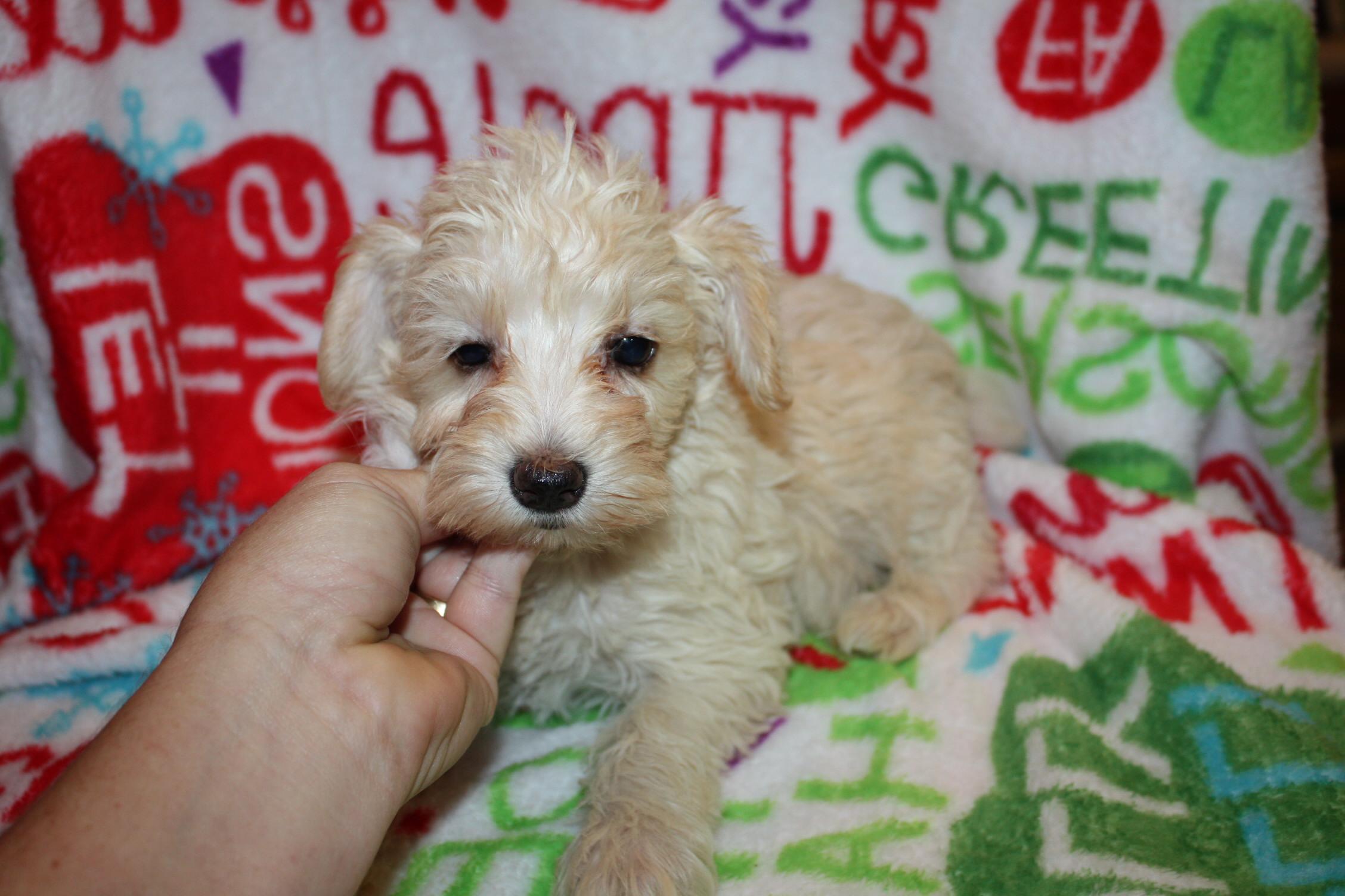 Savannah Dogs For Sale And Adoption Savannah Classifieds