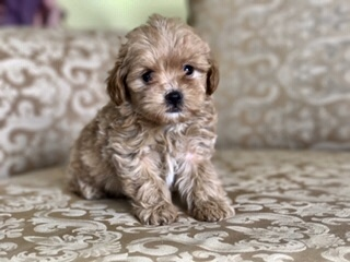 Darkn Tan Teddybear maltipoo  PUPPIES UP TO DATE ON SHOTS SHIPPING 400 d