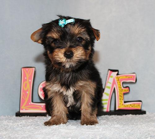 AKC CH Toy Yorkie Puppy Boy