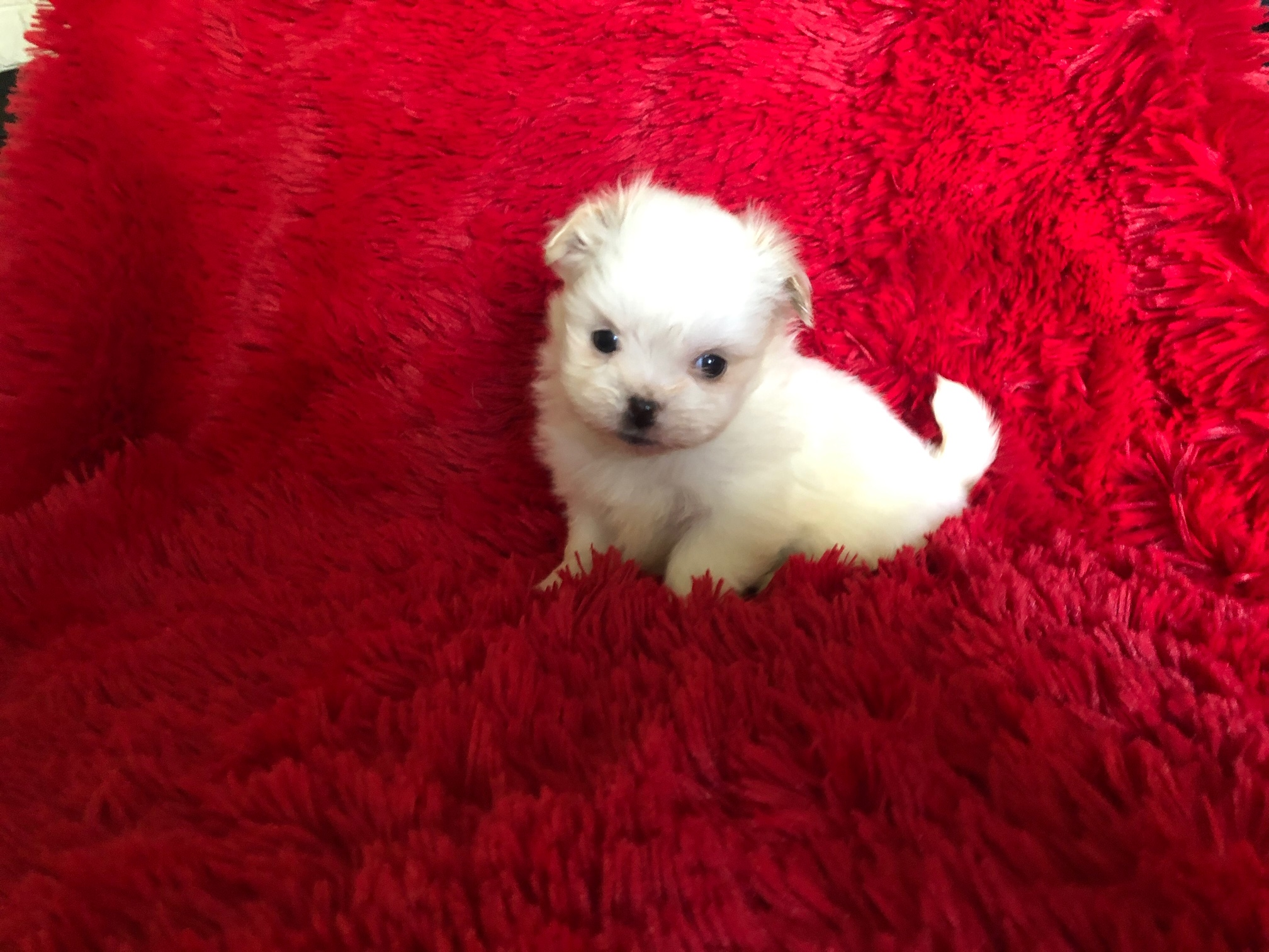 I have 5 beautiful and tiny maltese shih tzu puppies They are very playful and loving they are up