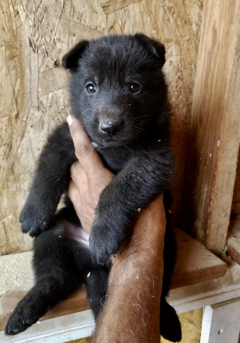 All Black German Shepherd Pup