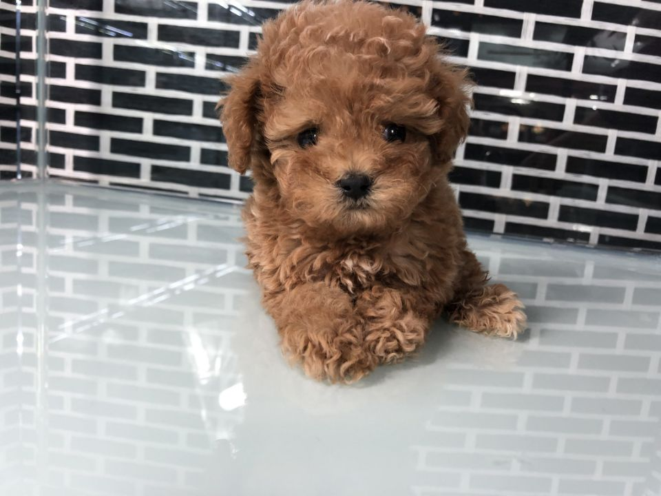 RED COLOR MALTIPOO MALE AFFECTIONATE FAMILY PETUP TO DATE ON SHOTS 8 -10LBS FULL GROWN DELIVERY