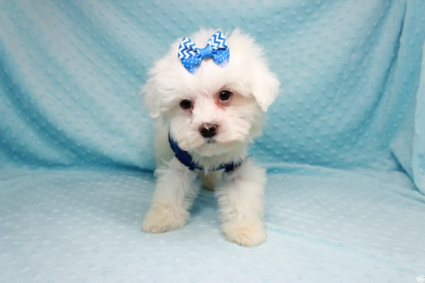 Cupid-Teacup MAltipoo Puppy