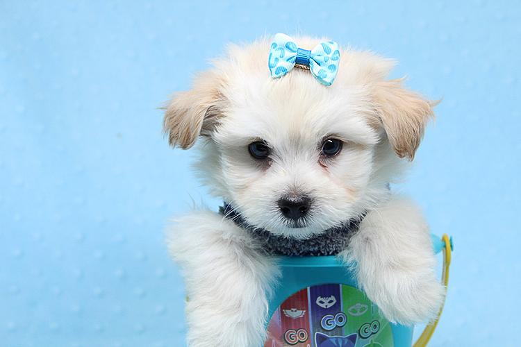 Tiny Teacup Maltipoo (Maltese | Pets | Agoura Hills CA