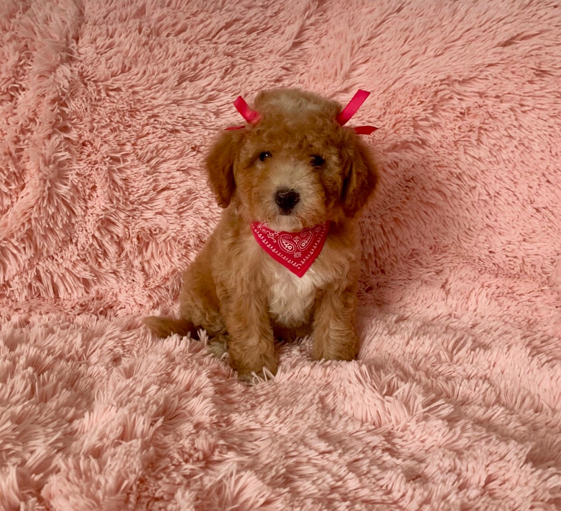 RARE MALTIPOO TEDDYBEAR FACE FULL GROWN 10LBSUP TO DATE ON SHOTSHOME RAISED PUPPY WITH 20 YE
