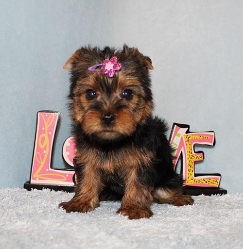 Toy Yorkie Puppy Girl (Jacy)