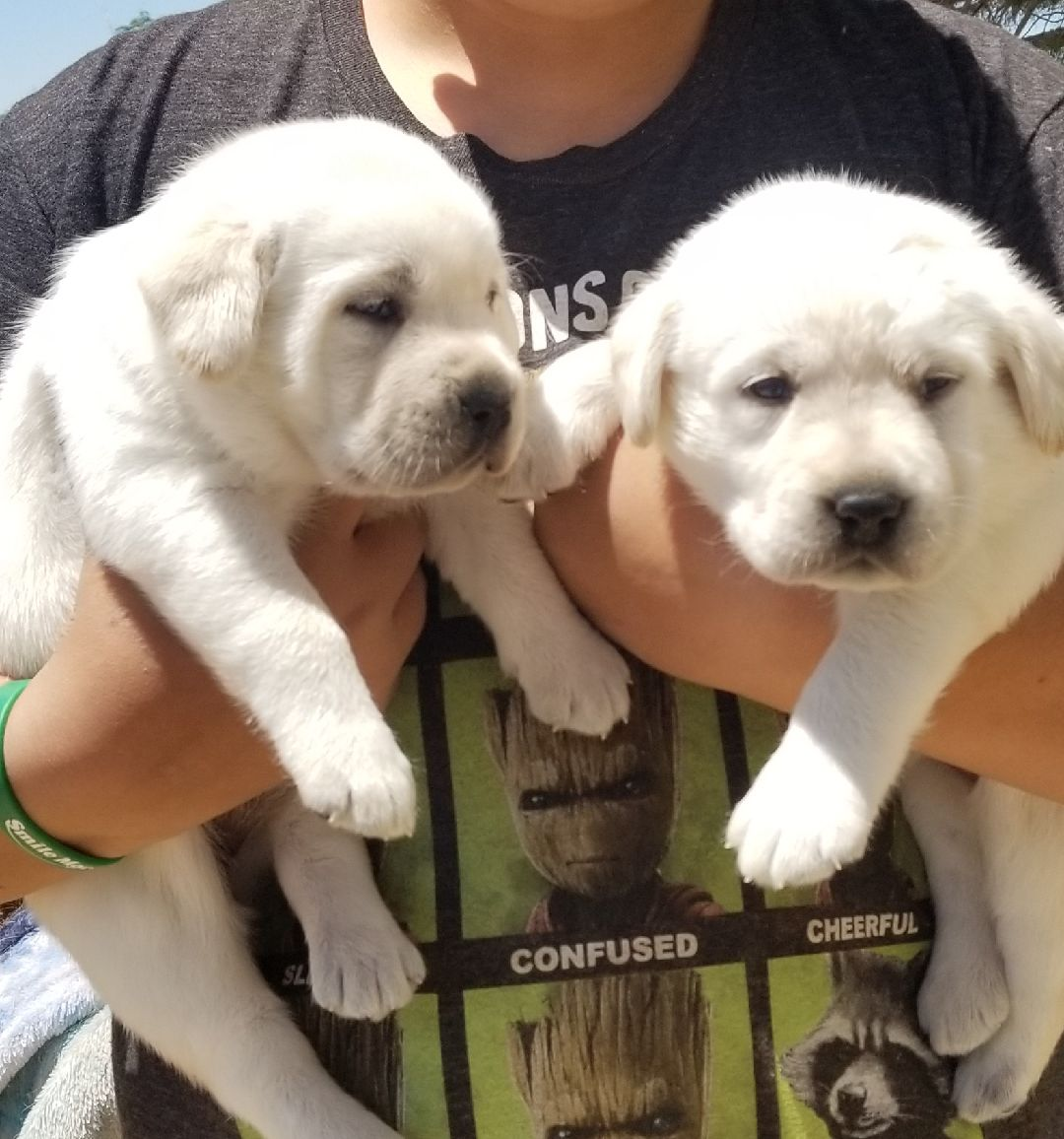 Gorgeous White Labrador Retriever Puppies Big Beautiful English Blockheads 2 females are available