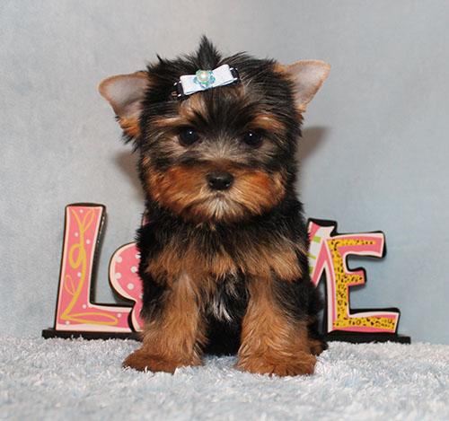 Toy Yorkie Puppy Boy (Xavier)