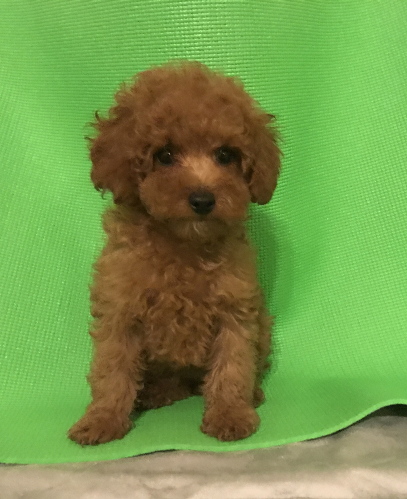 10 weeks old 2 shots and deworm Dark RED color PERFECT LOOKING PUPPYTEDDYBEAR LOOK excepti