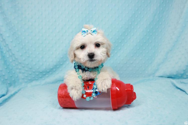 Gaston-Toy Maltipoo Puppy
