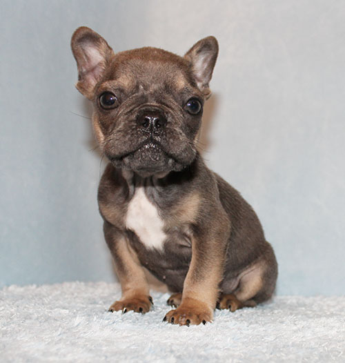 Mini Blue/Tan French Bulldog