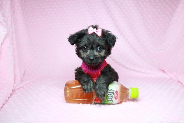 Adorable Yorkipoo Puppy