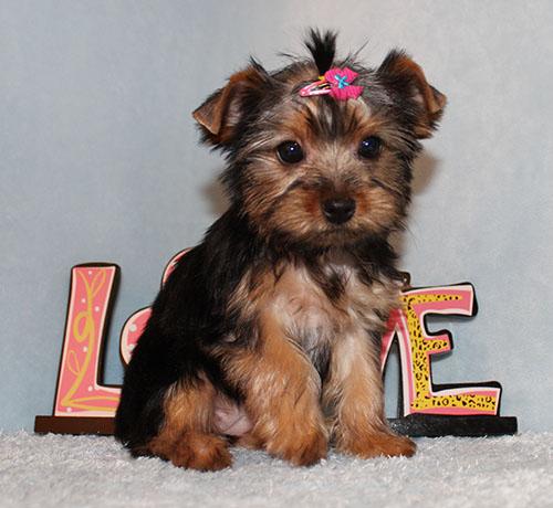 Toy Yorkie Puppy Girl (Nana)