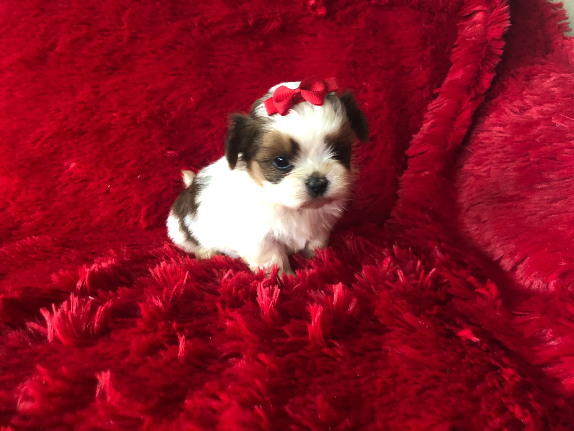 Maltese shih tzu puppies Males and females available Current with shots and dewormed Ready for ne