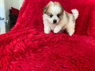 Tiny Pomeranian Puppies