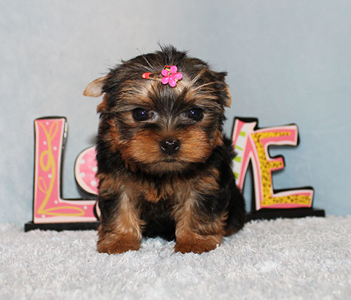 Micro Tiny Teacup Yorkie Puppy