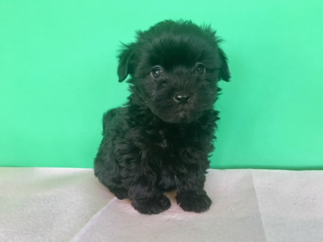 Black Male Maltipoo Pets Orange Ca Recyclercom
