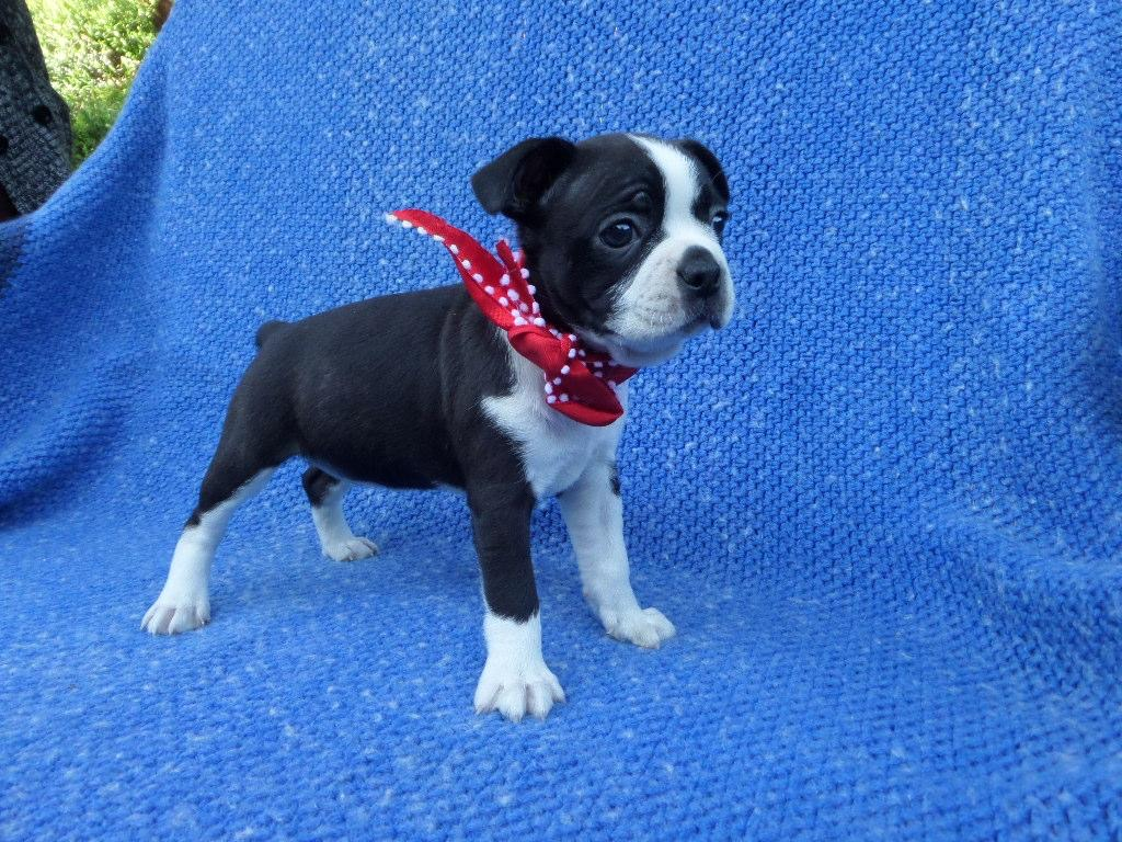 Boston Terrier Puppies Females available Current with shots and dewormed Ready for new homes Pup