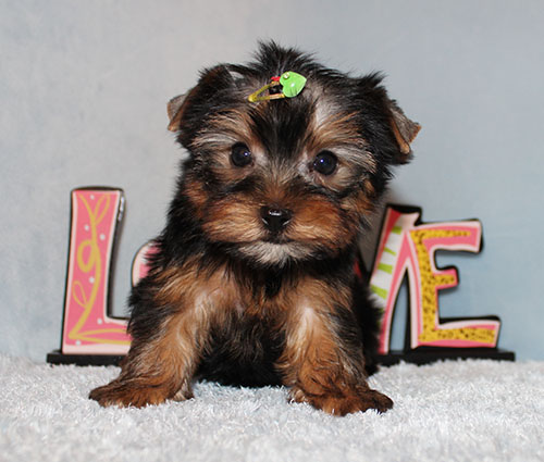 Toy Yorkie Puppy Boy (Lex)