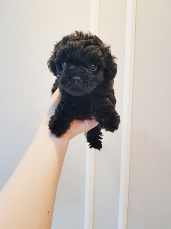 Black Maltipoo Puppies Pets San Francisco Ca Recyclercom