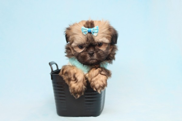 Perfect Teacup & Toy Puppies